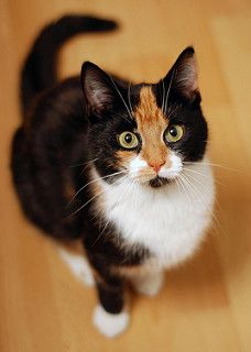 Cute Cats And Kittens, Cool Cats, Kittens Cutest, Ragdoll Kittens, Tabby Cats, Bengal Cats, White Kittens, Pretty Cats, Beautiful Cats
