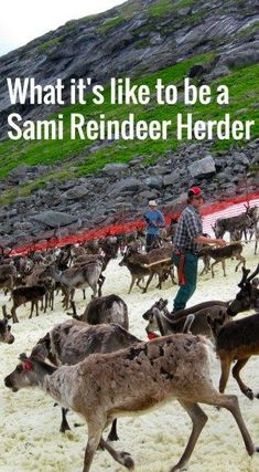 Special treat for you: I have the boyfriend over to tell you all about what life as a reindeer herder in the Arctic is like. Simon tells you everything you never knew about what reindeers herders do in the 8 different Sami seasons! Trondheim, Stavanger, Visit Norway, Visit Sweden, Polar Night, Alesund, Cycle Of Life, Norway Travel, Europe