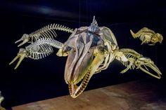 Esqueletos de baleias e golfinhos parecem flutuar em um dos módulos. Museu Oceanográfico da Univali. Na reta final de montagem na Univali de Piçarras, museu proporcionará viagem ao fundo do mar - Notícias do Dia Online