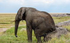 Słoń, Trawa, Kamienie