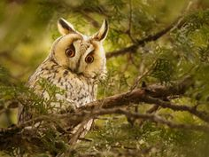 As vrea putina intimitate va rog . / Enough with the photos! I would like a little privacy, please . Long Eared Owl, Bird, Photos, Animals, Pictures, Animales, Animaux, Photographs, Birds