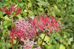 cluster-amaryllis of Japan