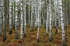 Autumn Birches near Novosibirsk, Russia