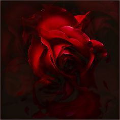 The rose.  So often used to signify romance and love.  It seems more beautiful here, softly hidden in the shadows; waiting for just a bit more light.