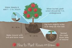 Roses can use extra care when you first plant them. These tips for transplanting or planting roses will get them off to a great start. Rose Bush Care, Rose Care, Transplanting Roses, Rooting Roses, Rose Garden Design, Organic Roses, Replant, Climbing Roses, Garden Care