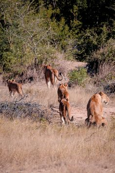 """[Kapama Game Reserve South Africa] * * LIONESS IN BACK: """" Holds up ands waitz a sec. Me gots to takes a dump."""""""