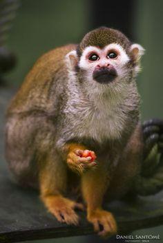 """""""Limosna"""", fotografía de una de las especies de monos del Zoo de Santillana del Mar."""