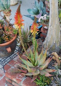 Aloe microstigma_entire plant is colorful, winter, southern California