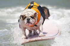 Surf Dog Competition 2013 | Surf's pup dude! The amazing dogs who take to the waves like ducks to ...