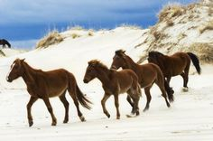 outer banks wild horses - dream vacation! would love to get up close to one!