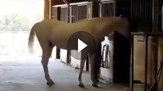 Einfach kann ja jeder, oder?! Das denkt sich vermutlich auch dieses Pferd und geht mit dem Hinterteil voran in seine Pferdebox. Immerhin steht man dann...