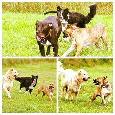 Lots of play time today! #evasplaypupspa #dogcamp #doggievacays #dogsinnature #pitbullsofinstagram #dogdaysofsummer #dogsofinstagram #endlessmountains #mountpleasant