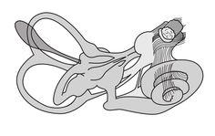 El oído es un órgano del cuerpo humano muy sensible y avanzado. La función del oído es transmitir los sonidos al cerebro a través de sus distintas partes: el oído externo, el oído medio y el oído i…