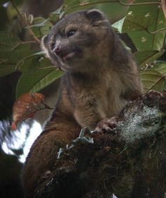 The olinguito is the first carnivorous mammal to be discovered in the Americans in 35 years