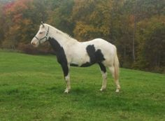 Sky is an adoptable Paint/Pinto Horse in Sistersville, WV. SKY IS A BEAUTIFUL TENNESSEE WALKER PAINT MIX GELDING, HE WAS RESCUED BECAUSE HIS OWNER COULD NO LONGER AFFORD TO CARE FROM HIM. WHEN WE GOT ...