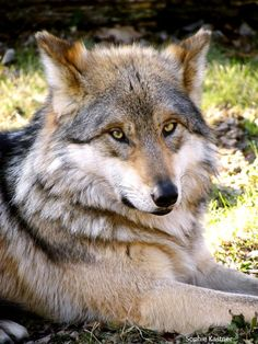 Mexican Gray Wolf matriarch who was going to be killed by US Fish & Wildlife, but rescinded the kill order when people wrote to protest the kill order.