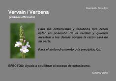 NaturaFlors: Vervain / Verbena