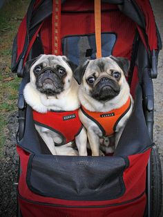 Twins!  ha ha ha   I love puggies..  and how they always look perpetually *surprised*