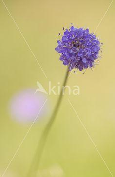 Blauwe knoop (Succisa pratensis) (rode lijst NL), Junner Koeland door Mark Scheper