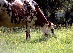 Vache Normande et sa campagne