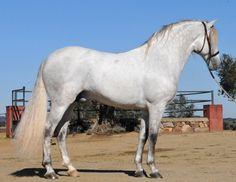 Andalusian stallion Martin