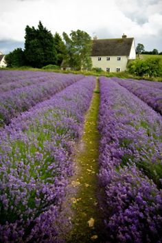 i love lavendar ... looks like a place i've seen in Pennsylvania.