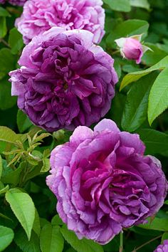 """'Tour de Malakoff'  """"Taffeta Rose ',' Black Jack '  Pastor, Soupert & Notting brought on the market in 1856    Hedge 150 cm tall, relaxed, knotty. Oblong leaves are leathery. New shoots are violetinpunaisia.  Flower 8.5 -9.5 cm, loosely once a woman, dark fuchsia, violetinsävyjä later, the edges paler, smells strongly. Red flower buds.  Hip bowl-shaped, wide center. Decorative curtain leaves are falling down, and soon. The lugs are long and narrow.  Autumn color orange to dark red."""