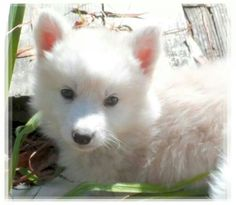 The picture I chose Ice Fox from (Canadian Eskimo/wolf) Husky Hybrid, Canadian Eskimo, Wolf, Ice, Puppies, Pictures, Animals, Photos, Cubs