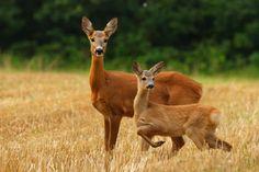 ♘ Animalia ♘ Red deer