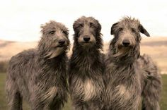 Irish Wolfhounds by sandra and daisy
