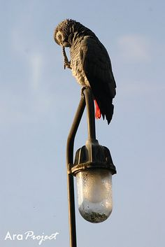 African grey parrot by City Parrots, via Flickr