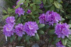 Alppiruusu kukki kesäkuun puolessa välissä