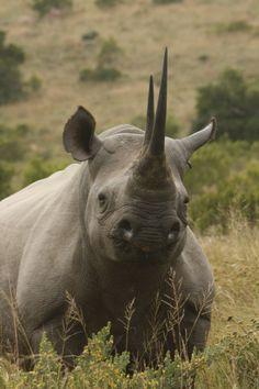 Black rhino www.susconafrica.org