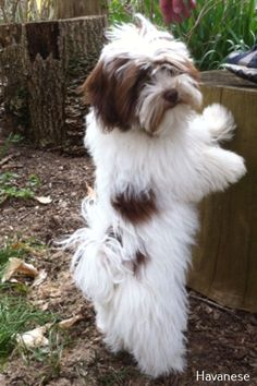 All About Fun Shih Tzu Puppies Grooming Happy Dog Grooming, Havanese Grooming, Havanese Puppies, Cute Puppies, Cute Dogs, Dogs And Puppies, Doggies, Maltipoo, Labradoodle