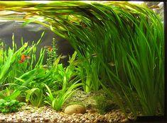 Valisnéria (Vallisneria spiralis) Care: Easy Gravel: Simple Lighting: Average