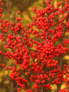 Berry Heavy® (Winterberry Holly) Ilex Berry Heavy tall extra berries give way to early leaf dropIlex Berry Heavy tall extra berries give way to early leaf drop Garden Shrubs, Flowering Shrubs, Trees And Shrubs, Garden Plants, Bog Garden, Tiny White Flowers, Cut Flowers, Deer Resistant Plants, Ornamental Plants