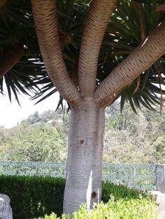 Árboles de Madeira.