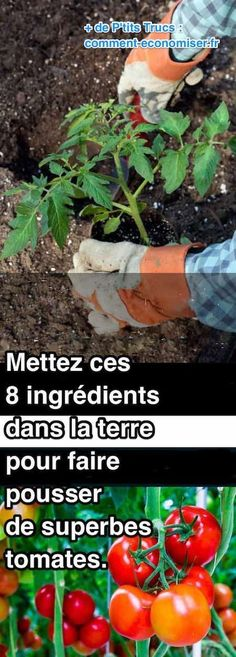 Mettez Ces 8 Ingrédients Dans la Terre Pour Faire Pousser de SUPERBES Tomates.