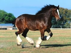 The Clydesdale is a breed of draught horse derived from the farm horses of Clydesdale, Scotland, and named after that region. Although originally one of the smaller breeds of draught horses, it is now a tall breed. Big Horses, Work Horses, Pretty Horses, Horse Love, Caballos Clydesdale, Akhal Teke Horses, Clydesdale Horses, Beautiful Horse Pictures, Beautiful Horses