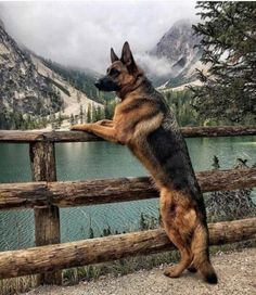 Wicked Training Your German Shepherd Dog Ideas. Mind Blowing Training Your German Shepherd Dog Ideas. Cute Dogs And Puppies, Big Dogs, Doggies, Cutest Dogs, Lab Puppies, Dog Zodiac, German Shepherd Puppies, Baby German Shepherds, Sable German Shepherd
