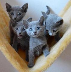 Russian Blue Cat Gallery - Cat's Nine Lives Kittens And Puppies, Cute Cats And Kittens, I Love Cats, Cool Cats, Kittens Cutest, Blue Cats, Grey Cats, White Cats, Cute Animals