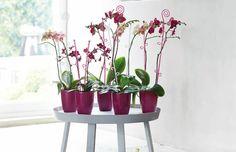orchideco elegance