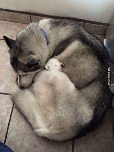 Mama husky hugs her pup to sleep
