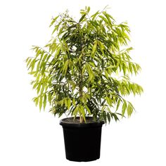 Hedging Plants, Privacy Plants, Landscaping Plants, Fast Growing Plants, Growing Tree, Trees And Shrubs, Trees To Plant, Trimming Hedges, How To Make Terrariums