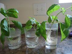 Paso a paso para cultivar albahaca desde la que has comprado para consumir... #jardineria