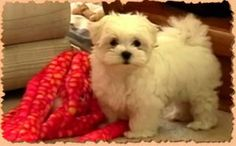 Watch cute Maltese puppy barking below. If only dogs were given a chance to express their feelings, we would know what they are thinking about. dogmessenger.com