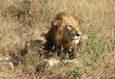 Type: Mammal Diet: Carnivore Size: Head and body, 4.5 to 6.5 ft (1.4 to 2 m); Tail, 26.25 to 39.5 in (67 to 100 cm) Weight: 265 to 420 lbs (120 to 191 kg) Group name: Pride Protection status: Vulnerable Size relative to a 6-ft (2-m) man: