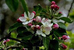 """Die Apfelblüte dauert noch, ... das ist ja allen klar, der """"Tag des Apfels"""" ist jedoch, am heut`gen Tag schon da. http://www.kuriose-feiertage.de/11/01/tag-des-deutschen-apfels/"""