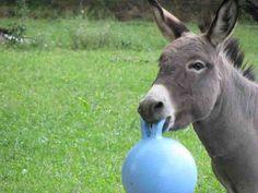 Donkeys need toys too.