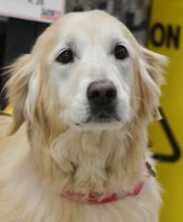 Courtney is an adoptable Golden Retriever Dog in Roswell, GA.   Hi, I'm Courtney.  I was adopted from GRRA several years ago and have recently been returned because my Mom went back to work and I wasn...
